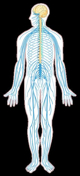 Nervous_system_diagram_unlabeled.png